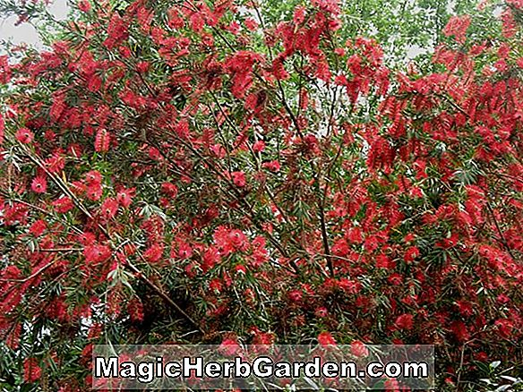 Callistemon viminalis (Weeping Bottlebrush) - #2