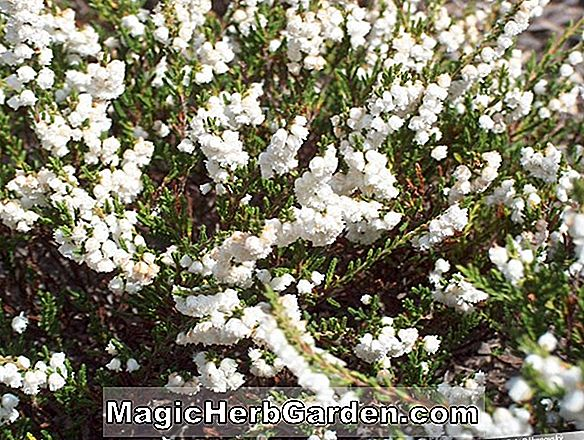 Calluna vulgaris (Kinlochruel Heather)