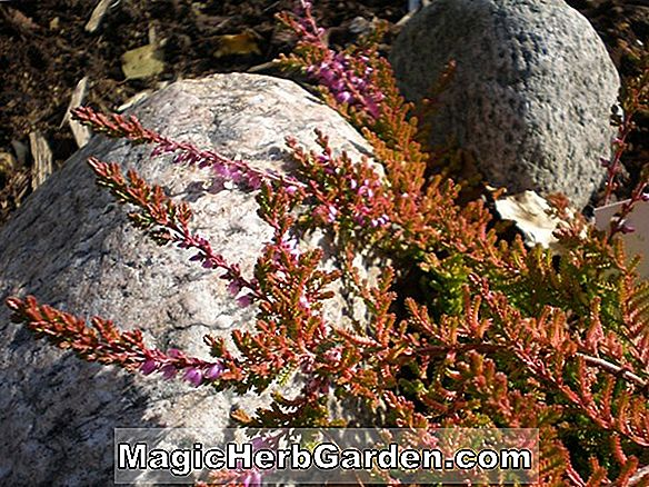 Planter: Calluna vulgaris (Red Carpet Heather)