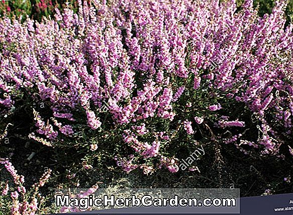 Calluna vulgaris (Marleen Heather)