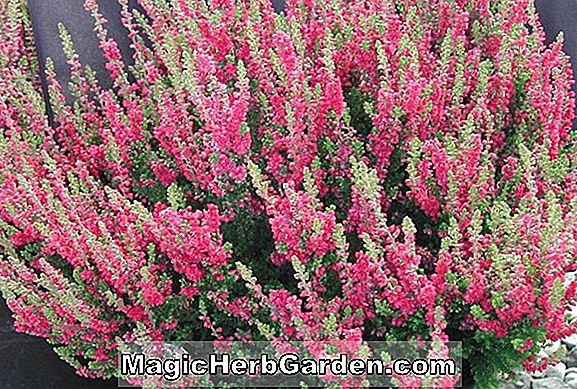 Calluna vulgaris (Darkness Heather) - #2