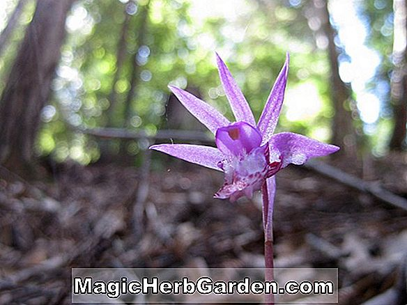 Planter: Calypso bulbosa (Fairy Slippers Orchid)