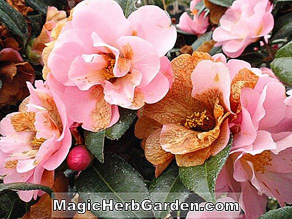 Planter: Camellia (Mary Phoebe Taylor Camellia)