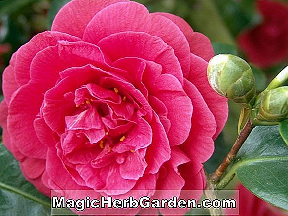 Camellia japonica (Lady Somers Camellia)