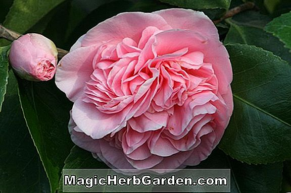Camellia japonica (Orchid Pink Camellia) - #2
