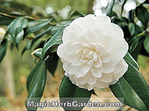 Camellia japonica (Pink Ball Camellia)