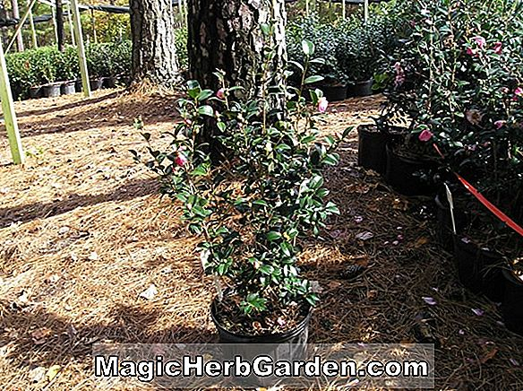 Planter: Camellia japonica (Pink Pearl Camellia)