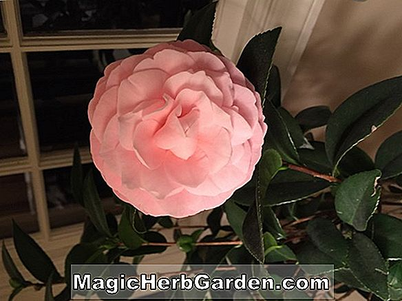 Camellia japonica (Pink Perfection Camellia)