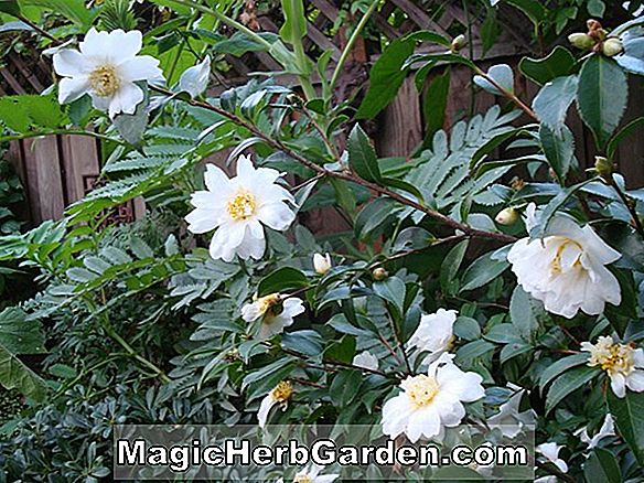 Camellia japonica (Standard Pink and White Camellia)