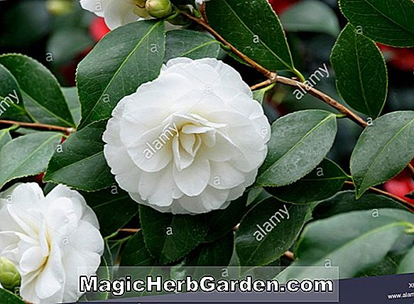 Camellia japonica (Kaiserin Variegated Camellia)