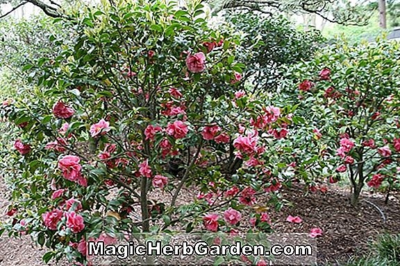 Camellia japonica (Dainty Maiden Camellia)