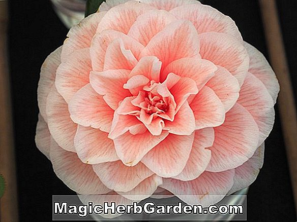 Camellia japonica (Diddys Pink Organdie Camellia)