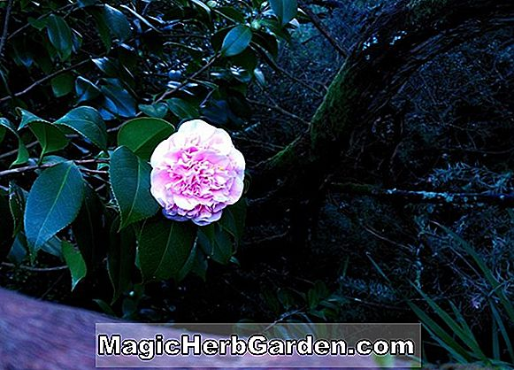 Camellia japonica (Dixie Knight Variegated Camellia) - #2