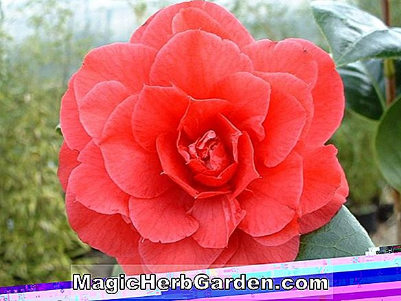 Camellia japonica (Emily Brown Camellia)