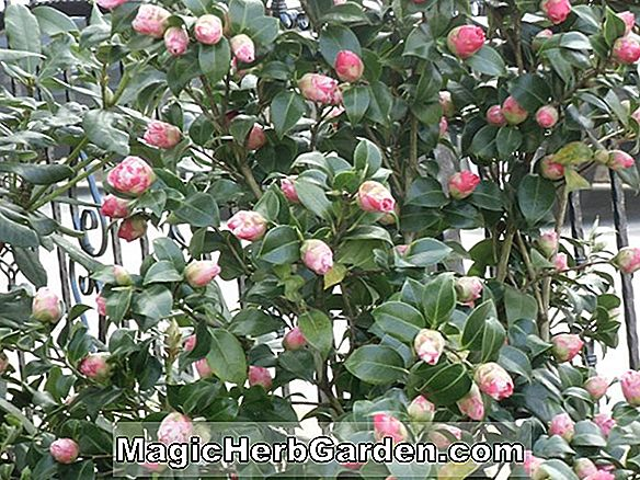 Camellia japonica (Victory Maid Camellia)