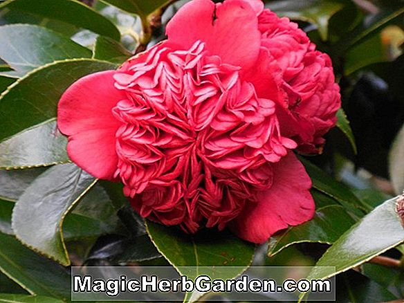 Camellia japonica (Flower of Wealth and Honor Camellia)