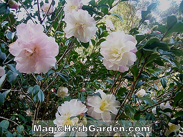 Camellia japonica (C.H. Hovey Camellia) - #2