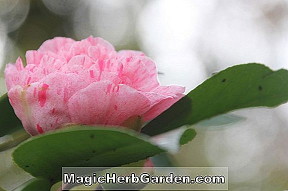 Camellia japonica (Mme Charles Cobb Camellia)