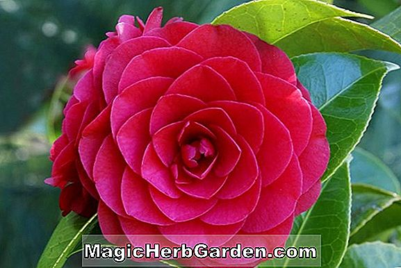 Camellia japonica (Mrs. Sol Runyon Camellia)