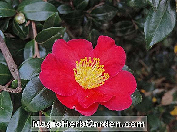 Planter: Camellia reticulata (Great Peach Bloom Camellia)