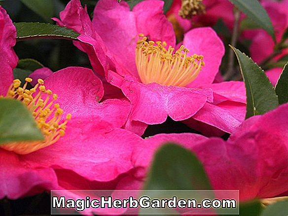 Camellia reticulata (Great Spinel Pink Camellia) - #2