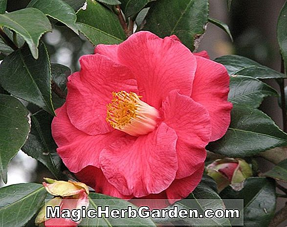 Camellia taliensis (taliensis) - #2
