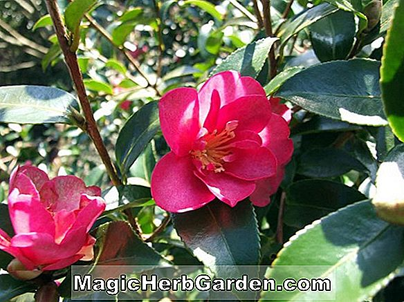 Camellia vernalis (Water Lily Camellia)
