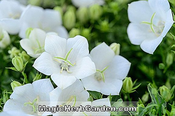 Planter: Campanula Carpatica (Weisse Clips Bellflower)