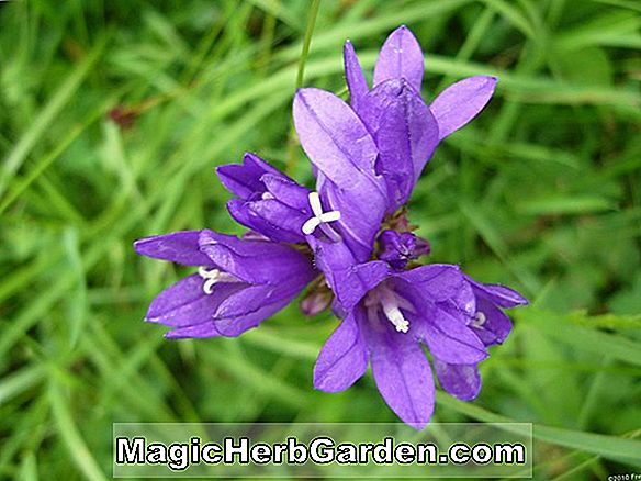 Campanula glomerata (Crown Of Snow Clustered Bellflower)