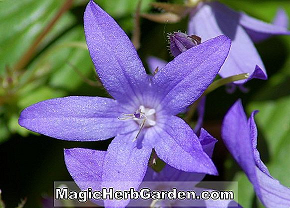 Campanula medium (Bells of Holland)