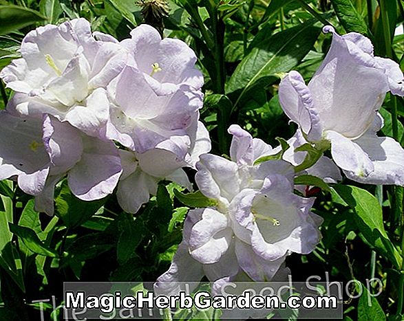 Campanula medium (Calycanthema Canterbury Bells)
