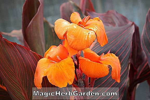 Canna ('Ty Ty Red' canna)