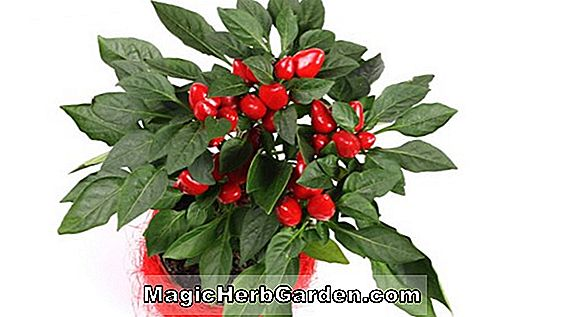 Capsicum annuum (Asiatisk Hot Capsicum Pepper)
