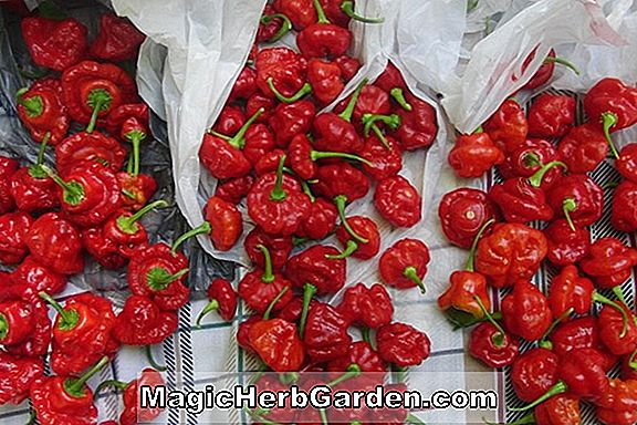 Planter: Capsicum annuum (Magic Red Capsicum Pepper) - #2