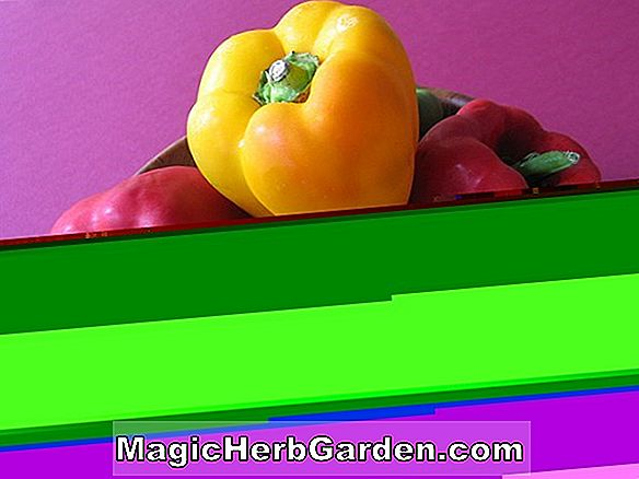Capsicum annuum (Long Red Cayenne Capsicum)