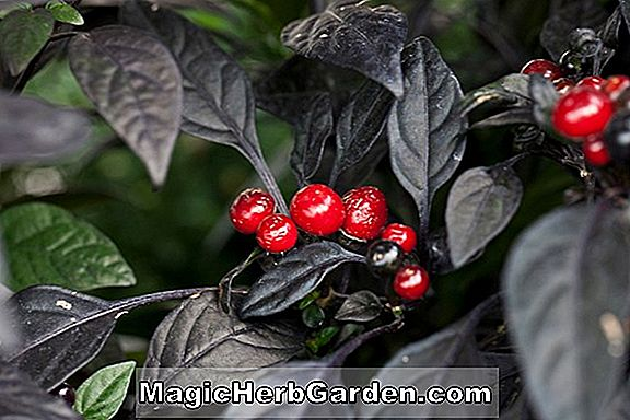 Planter: Capsicum annuum (Black Birds Peak Pepper)