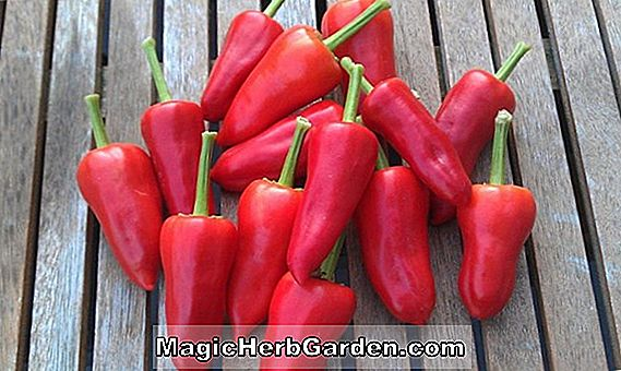 Capsicum annuum (NuMex Sweet Pepper)