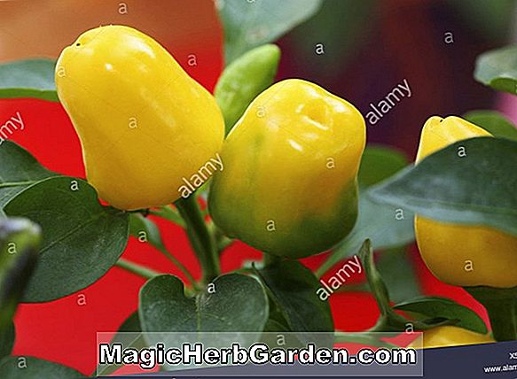 Capsicum annuum (Red Spanish Paprika Capsicum Pepper)