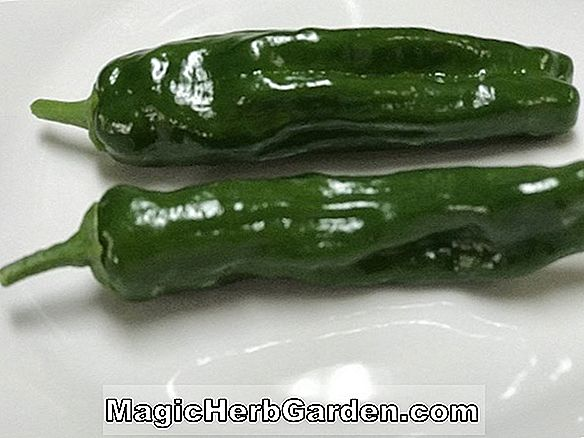 Capsicum annuum (Secret Capsicum Pepper) - #2