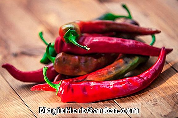 Capsicum annuum (Super Cayenne Pepper) - #2