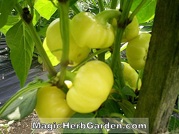 Planter: Capsicum annuum (Super Sweet Banana Capsicum)