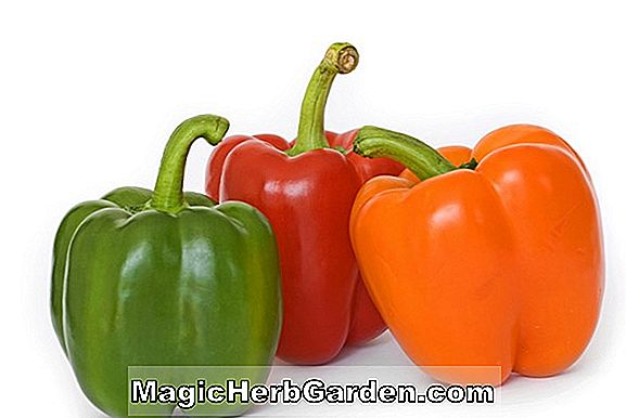 Capsicum annuum (Sweet Pepper Pepper)