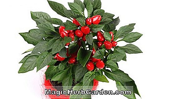 Planter: Capsicum annuum (ged Horn Pepper)