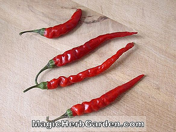 Capsicum frutescens (Angkor Sunrise Pepper) - #2