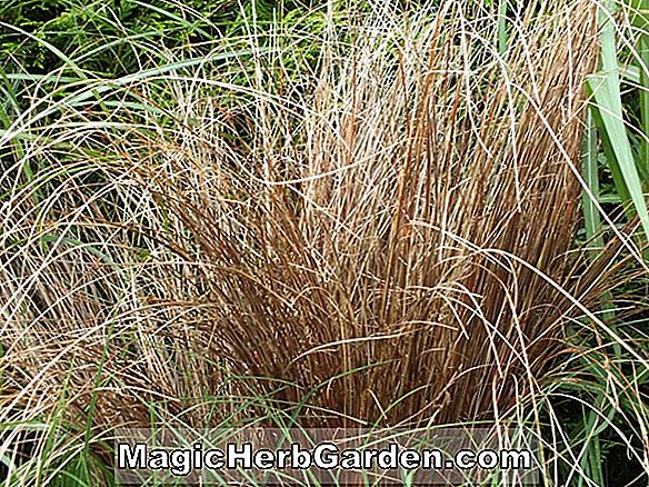 Carex buchananii (Leatherleaf Sedge)