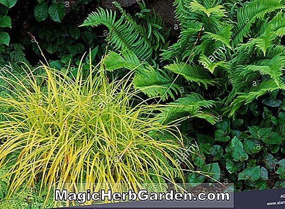Carex elata (Golden Sedge)