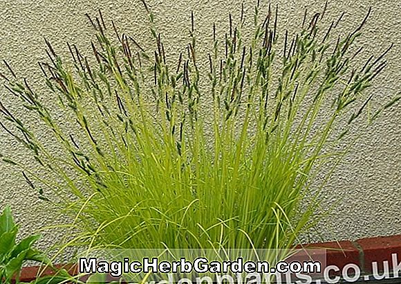 Carex elata (Bowle's golden sedge)