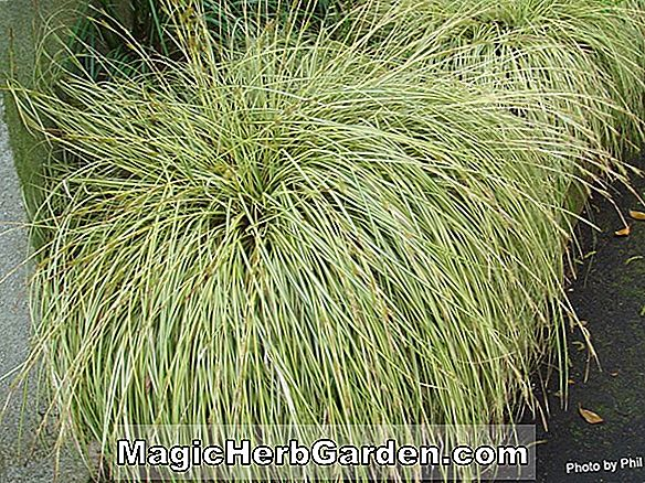 Planter: Carex morrowii (Fisher Carex)
