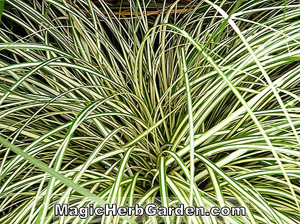 Planter: Carex oshimensis (Evergold Carex Sedge)