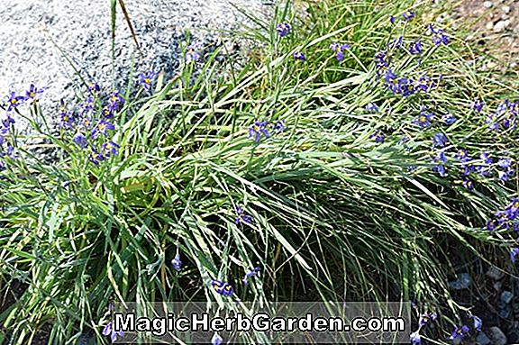 Carex pansa (California Meadow Sedge)